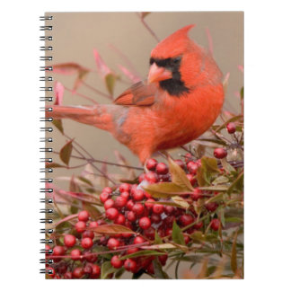 Northern Cardinal in Nandina Heavenly Bamboo Notebooks