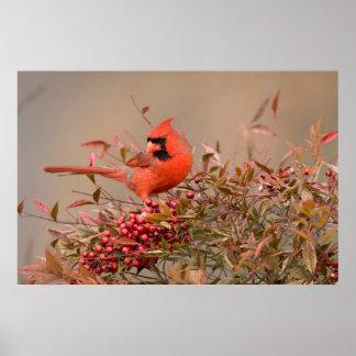 Northern Cardinal in Nandina Heavenly Bamboo Poster