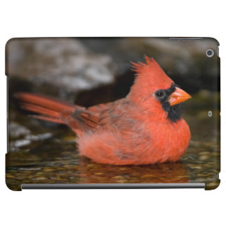 Northern Cardinal male bathing