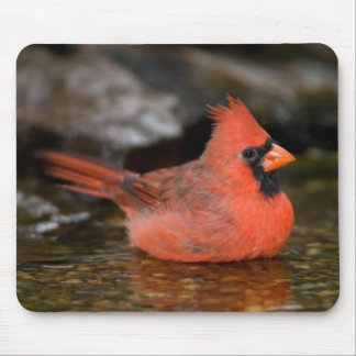 Northern Cardinal male bathing Mouse Pad