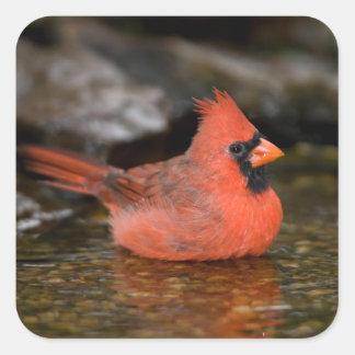 Northern Cardinal male bathing Sticker
