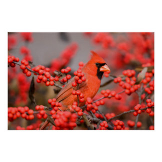 Northern Cardinal male on Common Winterberry Poster