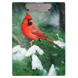Northern Cardinal male on tree, IL Clipboard