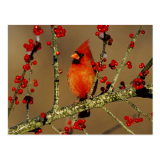 Northern Cardinal male perched, IL Postcard
