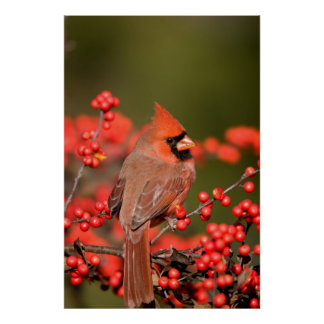 Northern Cardinal on Common Winterberry Posters