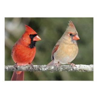 Northern Cardinal Photograph Print