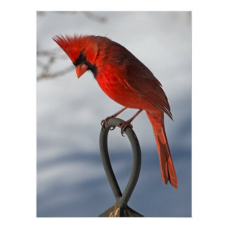 Northern Cardinal Posters