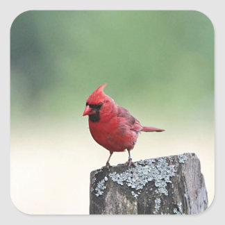 Northern cardinal stands on a post square sticker