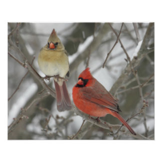 Northern Cardinals Posters