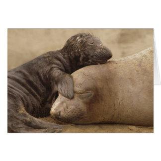 Northern Elephant Seal with pup Mirounga angustiro Card