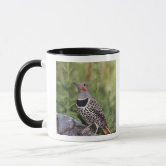 Northern Flicker, Colaptes auratus, Red-shafted Mug