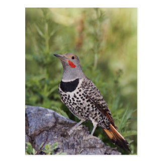 Northern Flicker, Colaptes auratus, Red-shafted Postcard