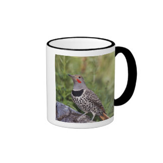 Northern Flicker, Colaptes auratus, Red-shafted Ringer Mug