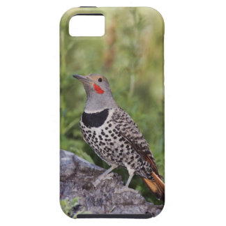 Northern Flicker, Colaptes auratus, Red-shafted Tough iPhone 5 Case