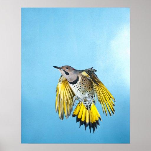 Northern Flicker Flying 2 Print