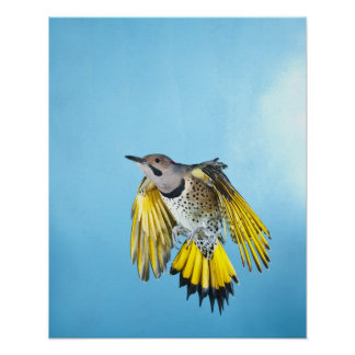 Northern Flicker Flying 2 Print