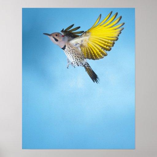 Northern Flicker Flying 4 Poster