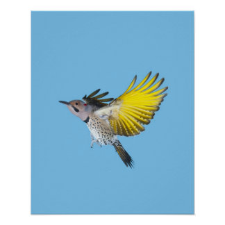 Northern Flicker Flying Posters