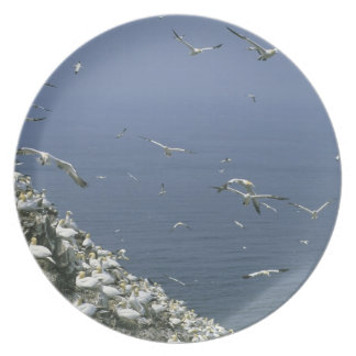 Northern Gannet, (Sula bassanus), huge colony, Plates