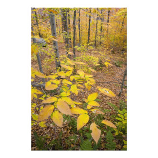 Northern hardwood forest in New Hampshire USA Photo Print