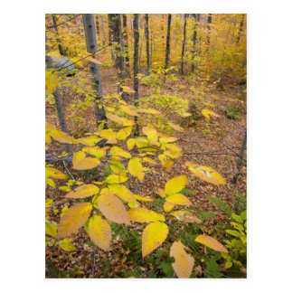 Northern hardwood forest in New Hampshire USA Postcard