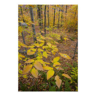 Northern hardwood forest in New Hampshire USA Poster