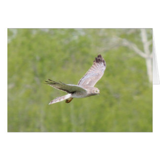 Northern Harrier Cards