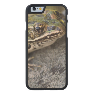 Northern Leopard frog, See-through Island, Carved Maple iPhone 6 Case
