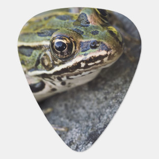 Northern Leopard frog, See-through Island, Plectrum