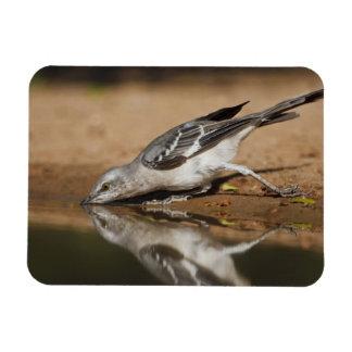 Northern Mockingbird drinking at south Texas pon Magnet