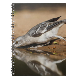 Northern Mockingbird drinking at south Texas pon Notebooks