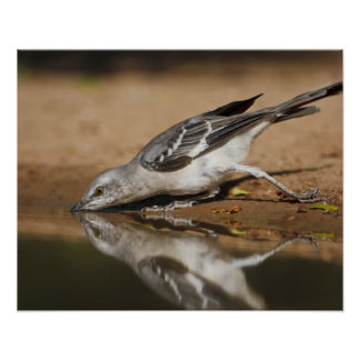Northern Mockingbird drinking at south Texas pon Poster