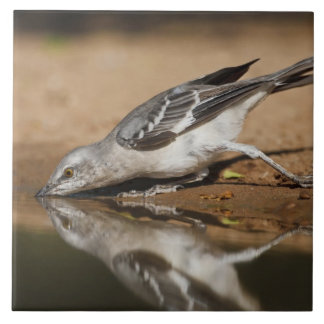 Northern Mockingbird drinking at south Texas pon Tile