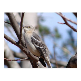 Northern Mockingbird Postcard