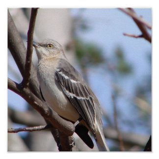 Northern Mockingbird Posters