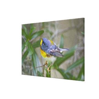 Northern Parula Parula americana) male Canvas Print