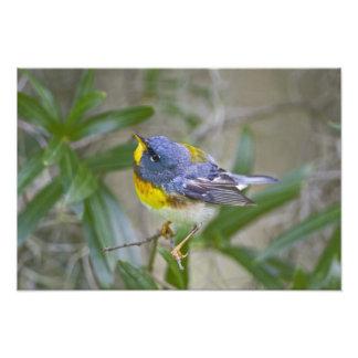 Northern Parula Parula americana) male Photo Print