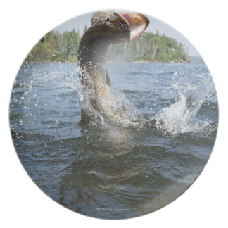 Northern Pike jumping out of water in a lake. Plate