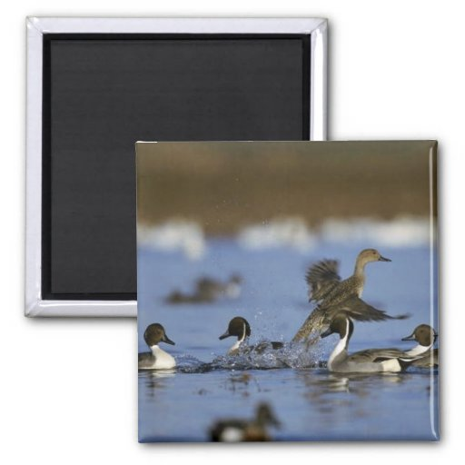 Northern Pintail Flock Refrigerator Magnets