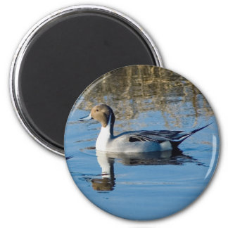 Northern Pintail Fridge Magnets