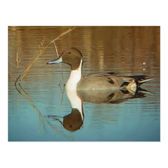 Northern Pintail Postcard