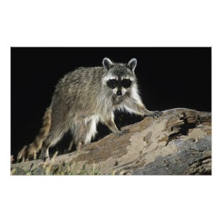 Northern Raccoon, Procyon lotor, adult at 2 Art Photo
