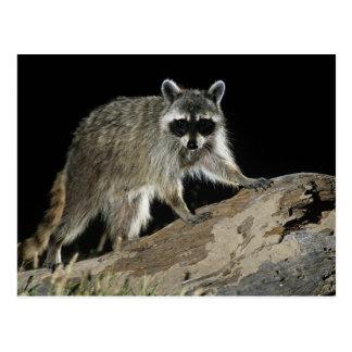 Northern Raccoon, Procyon lotor, adult at 2 Postcard