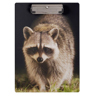 Northern Raccoon, Procyon lotor, adult at Clipboard