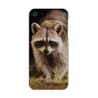 Northern Raccoon, Procyon lotor, adult at Incipio Feather® Shine iPhone 5 Case