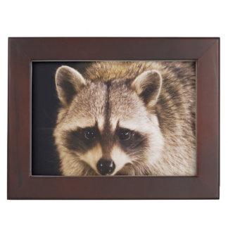 Northern Raccoon, Procyon lotor, adult at Keepsake Box
