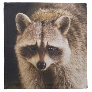 Northern Raccoon, Procyon lotor, adult at Napkin