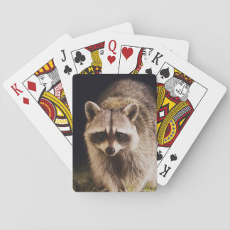 Northern Raccoon, Procyon lotor, adult at Playing Cards