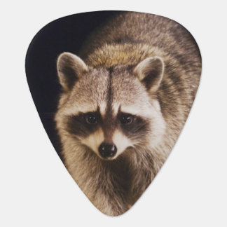 Northern Raccoon, Procyon lotor, adult at Plectrum