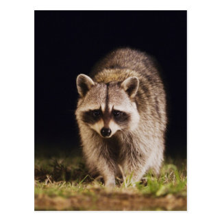 Northern Raccoon, Procyon lotor, adult at Postcard